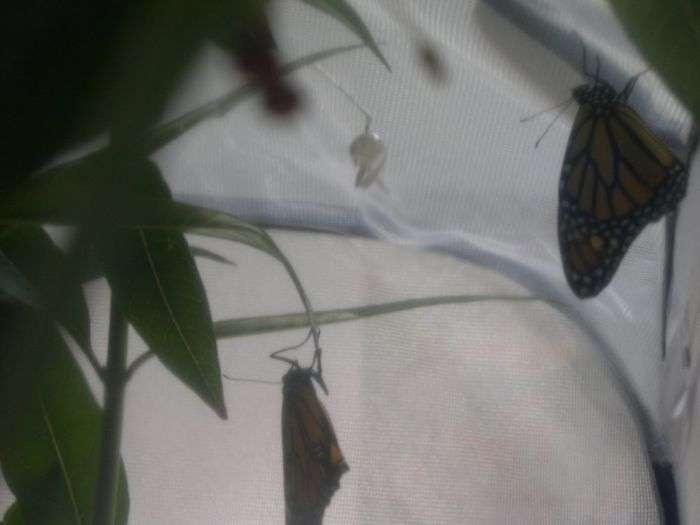 Перетворення гусениці в яскраву метелика (16 фото)