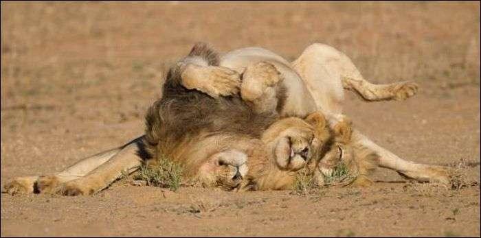 Три лева вийшли з бару... (4 фото)