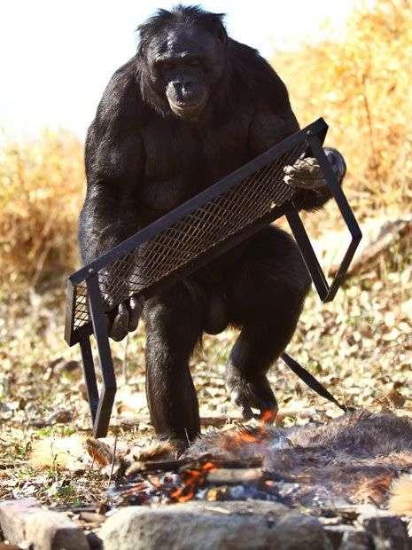 Шимпанзе Канзи любить пікніки (11 фото)