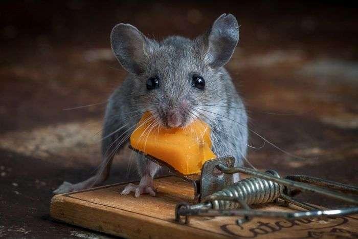 Справжній трилер: Сир у мишоловці (20 фото)