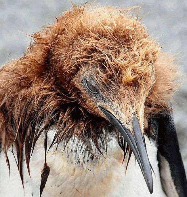 Нелегко живеться пінгвінам в період статевого дозрівання (2 фото)