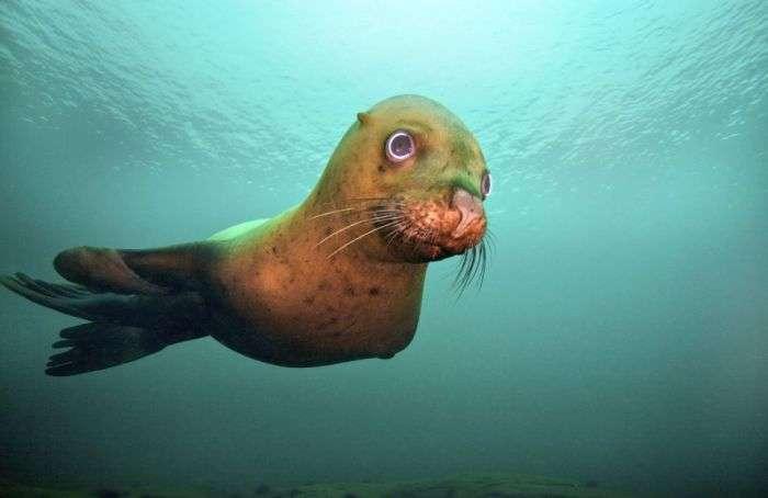 Морський лев грає зі своїм відображенням в обєктиві (7 фото)