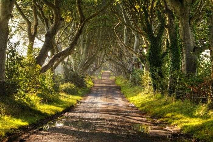 Алея з буків в Ірландії (16 фото)